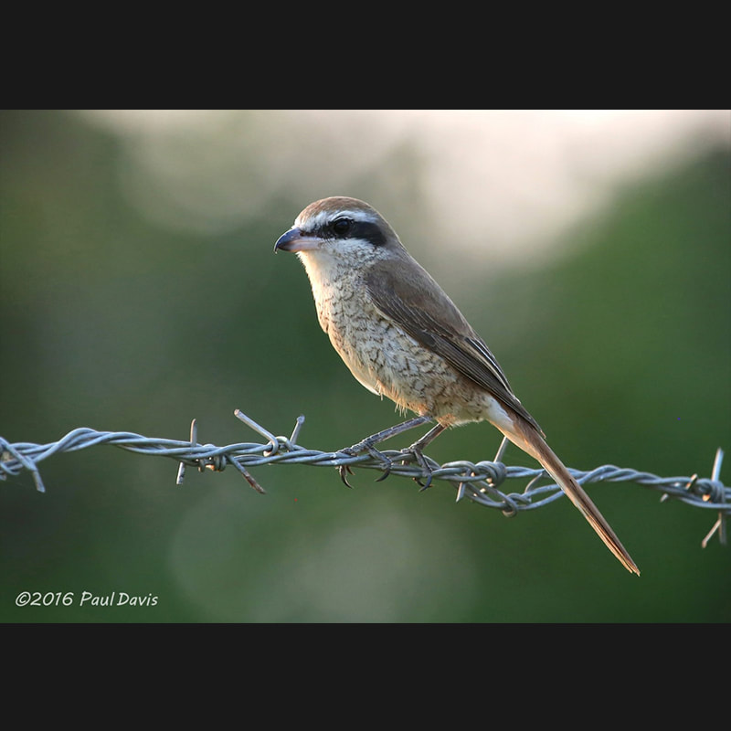 Lanius cristatus Brown Shrike.jpg