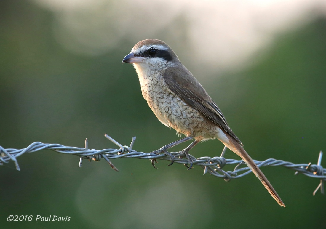 Brown Shrike from Chiang Mai.jpg