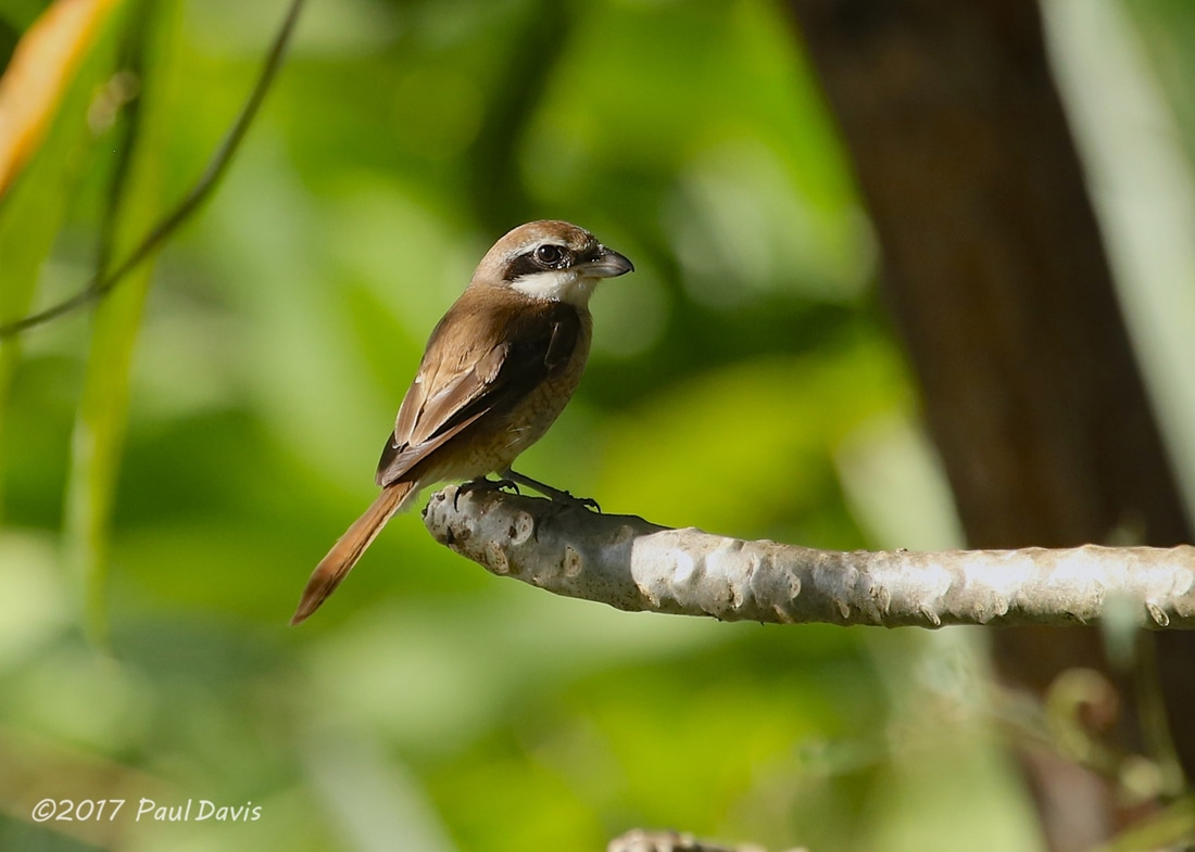 Brown Shrike, Lanius cristatus.jpg