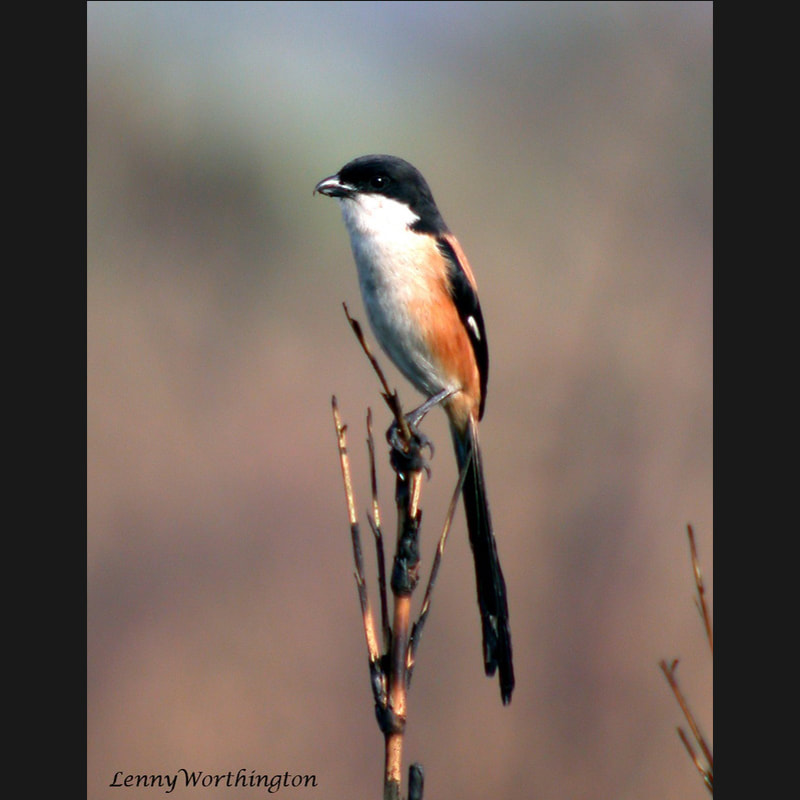 Lanius schach Long-tailed Shrike.jpg