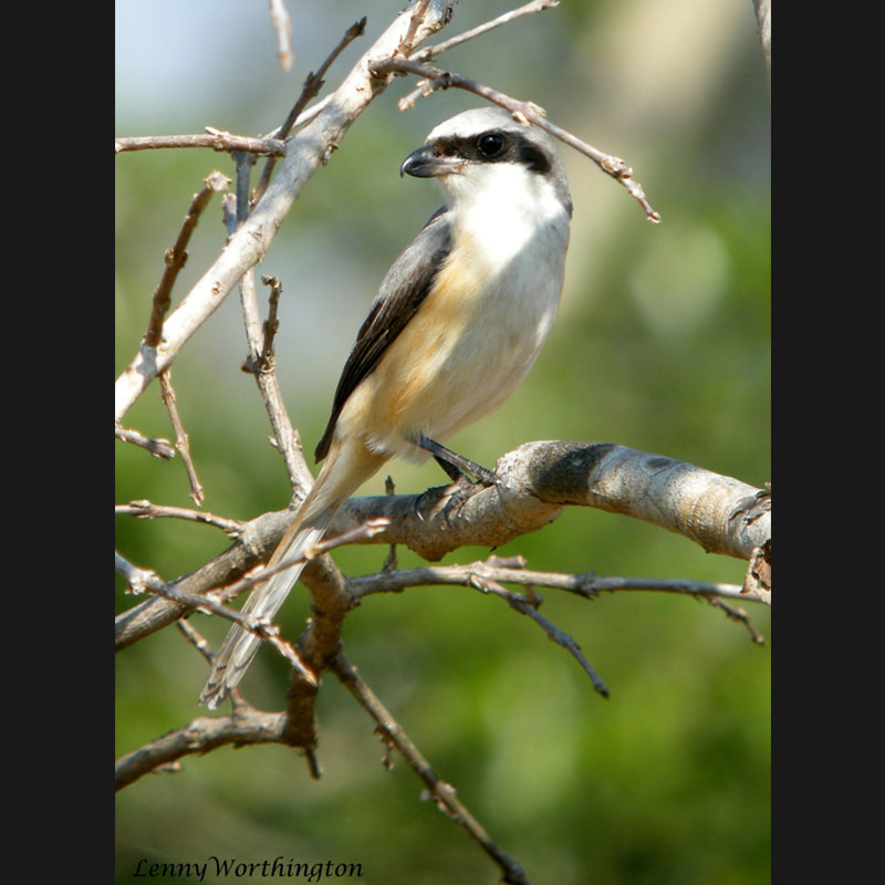 Lanius tephronotus Grey-backed Shrike.jpg