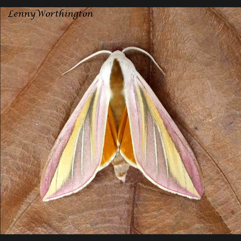 Lepidoptera - Moths of Thailand.jpg