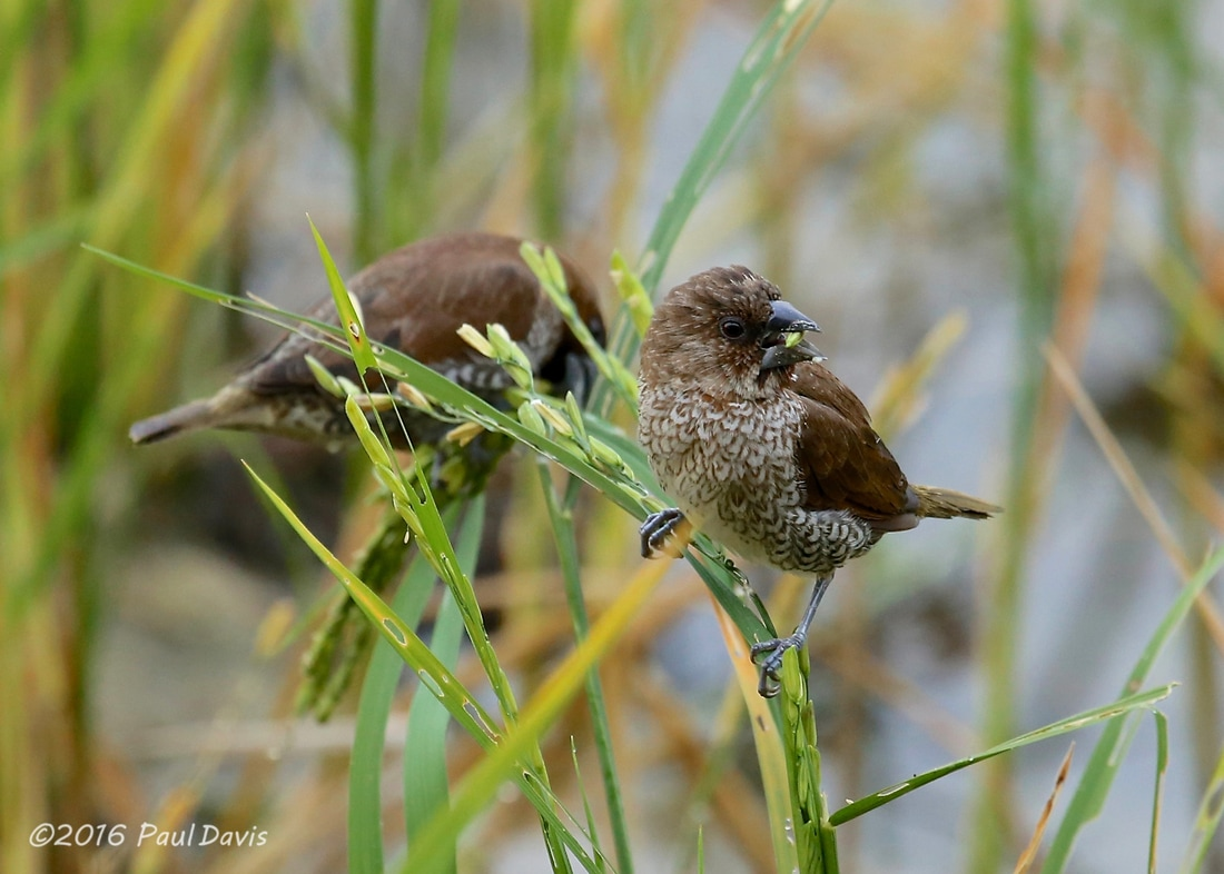 Scaly-breasted Munia from Thailand.jpg