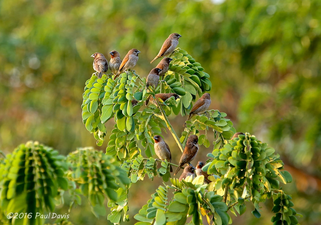 A group og Scaly-breasted Munia from Thailand.jpg