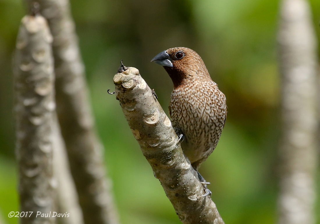 Scaly-breasted Munia from Hat Yai.jpg