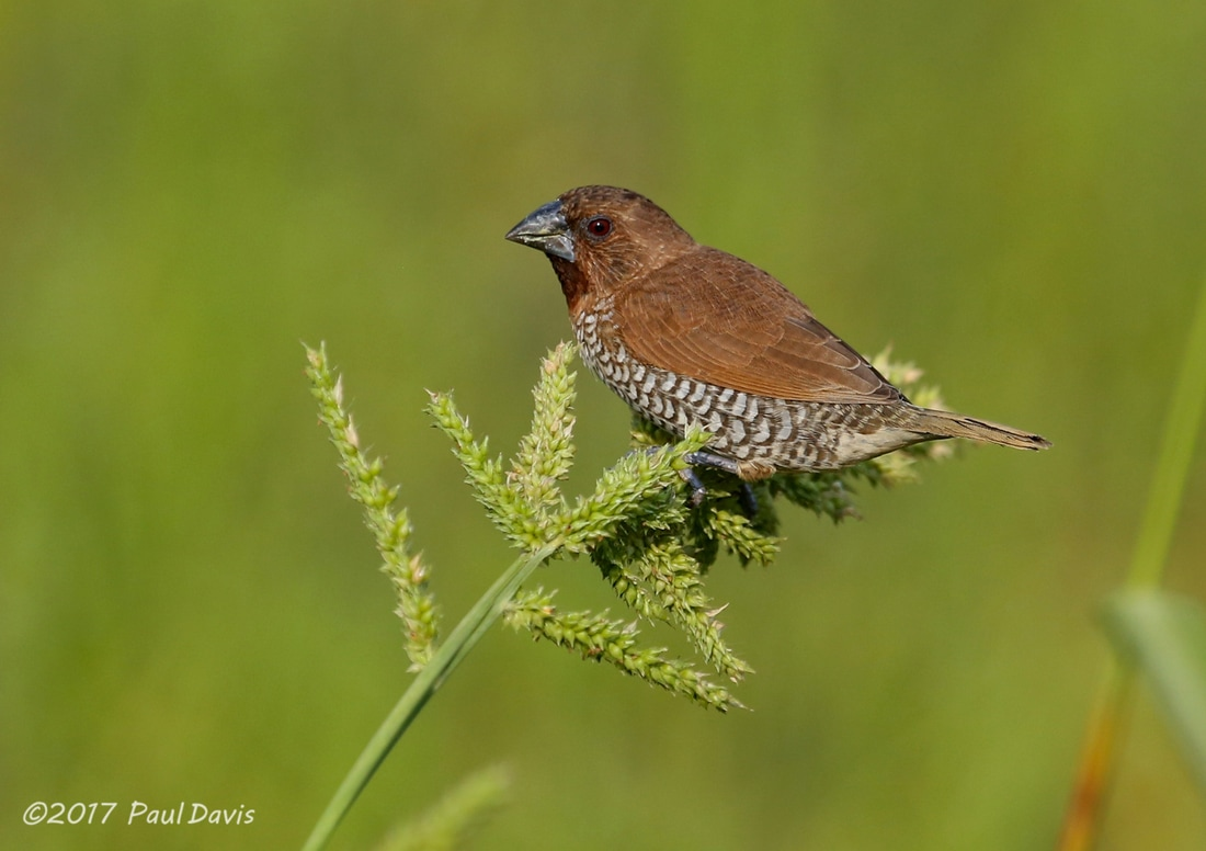 Scaly-breasted Munia, Lonchura punctulata.jpg