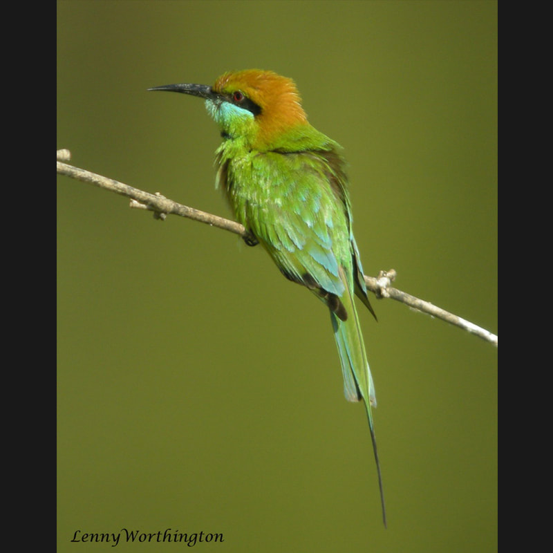 Merops orientalis Asian Green Bee-eater.jpg