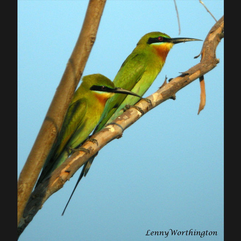 Merops philippinus Blue-tailed Bee-eater.jpg