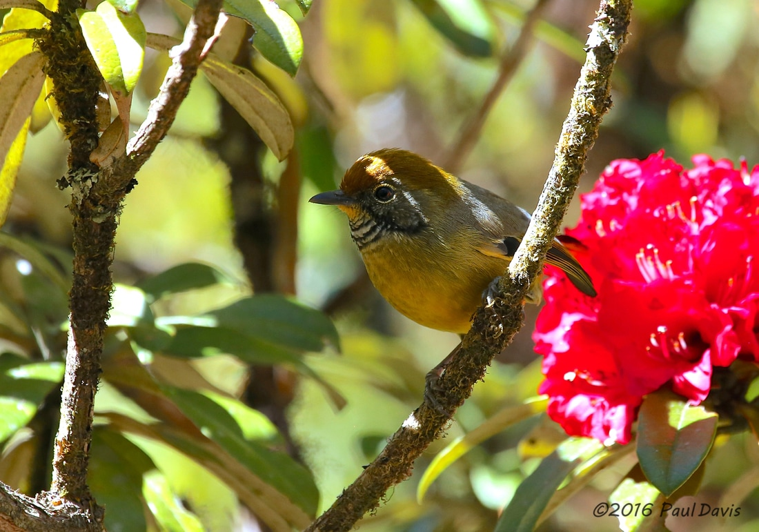 Bar-throated minla from Doi Inthanon.jpg