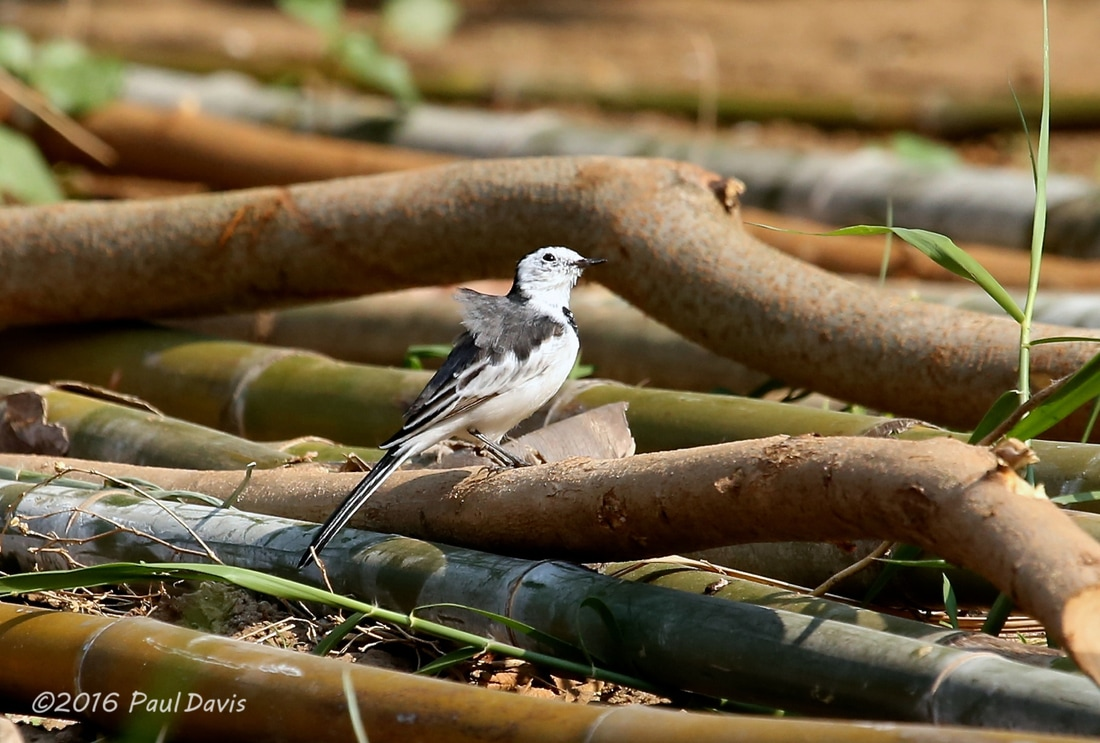 White wagtail from Ob Luang.jpg