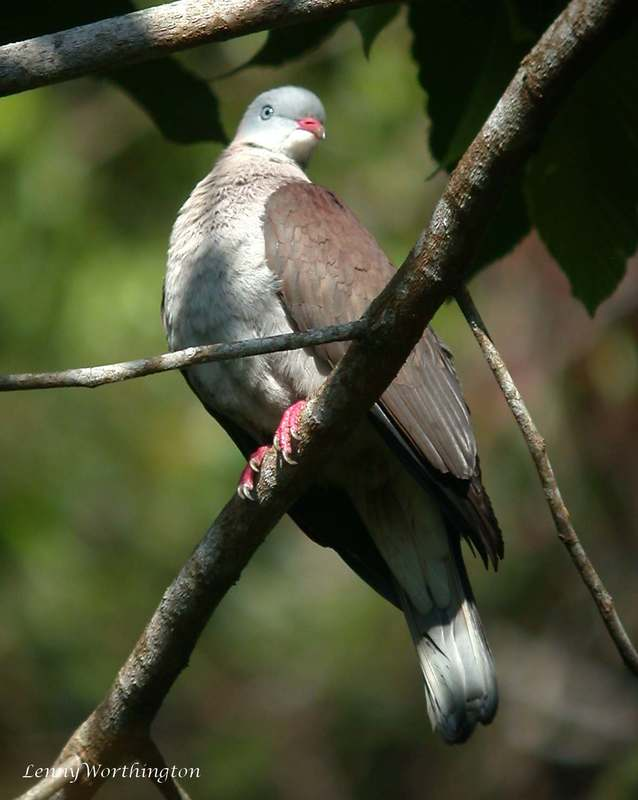 Mountain Imperial Pigeon.jpg