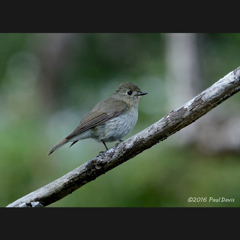 Muscicapa sibirica Dark-sided Flycatcher.jpg