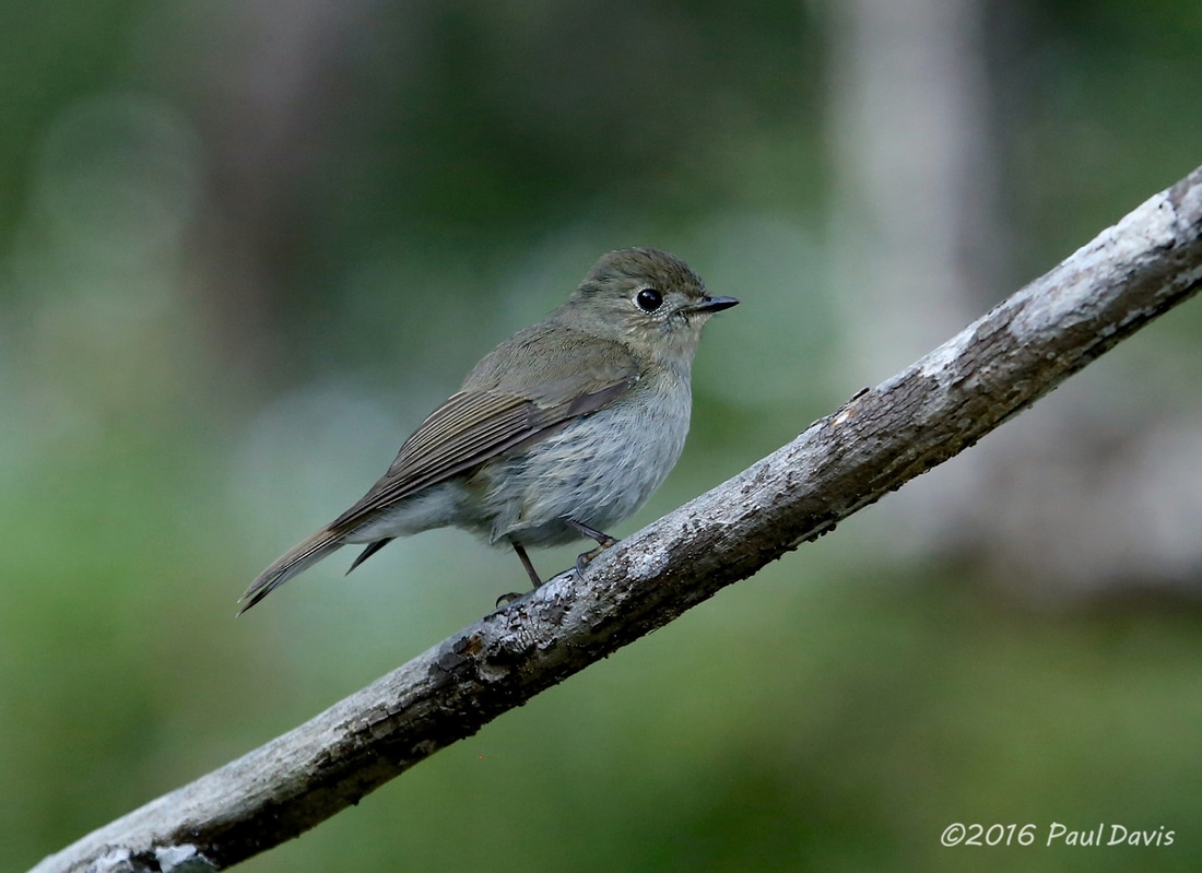 Dark-sided flycatcher, Muscicapa sibirica.jpg