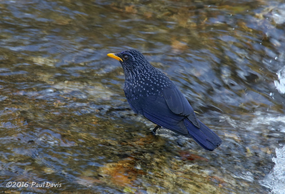 Blue whistling thrush from Doi Inthanon.jpg