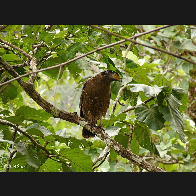 Nisaetus cirrhatus Changeable Hawk-Eagle.jpg