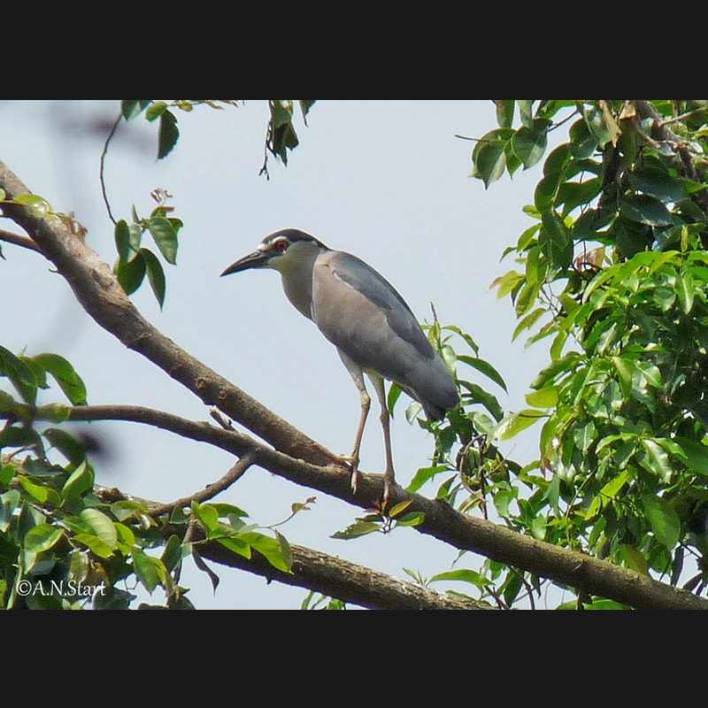 Nycticorax nycticorax Black-crowned Night-Heron.jpg
