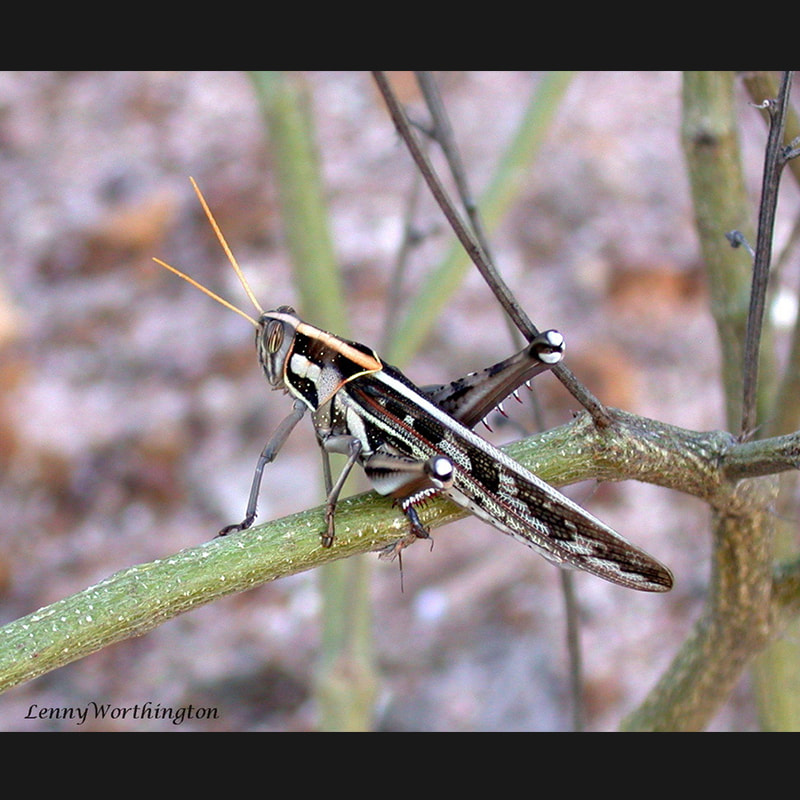 Orthoptera of Thailand.jpg