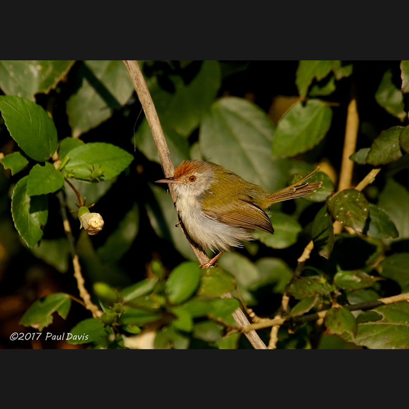 Orthotomus sutorius Common Tailorbird.jpg