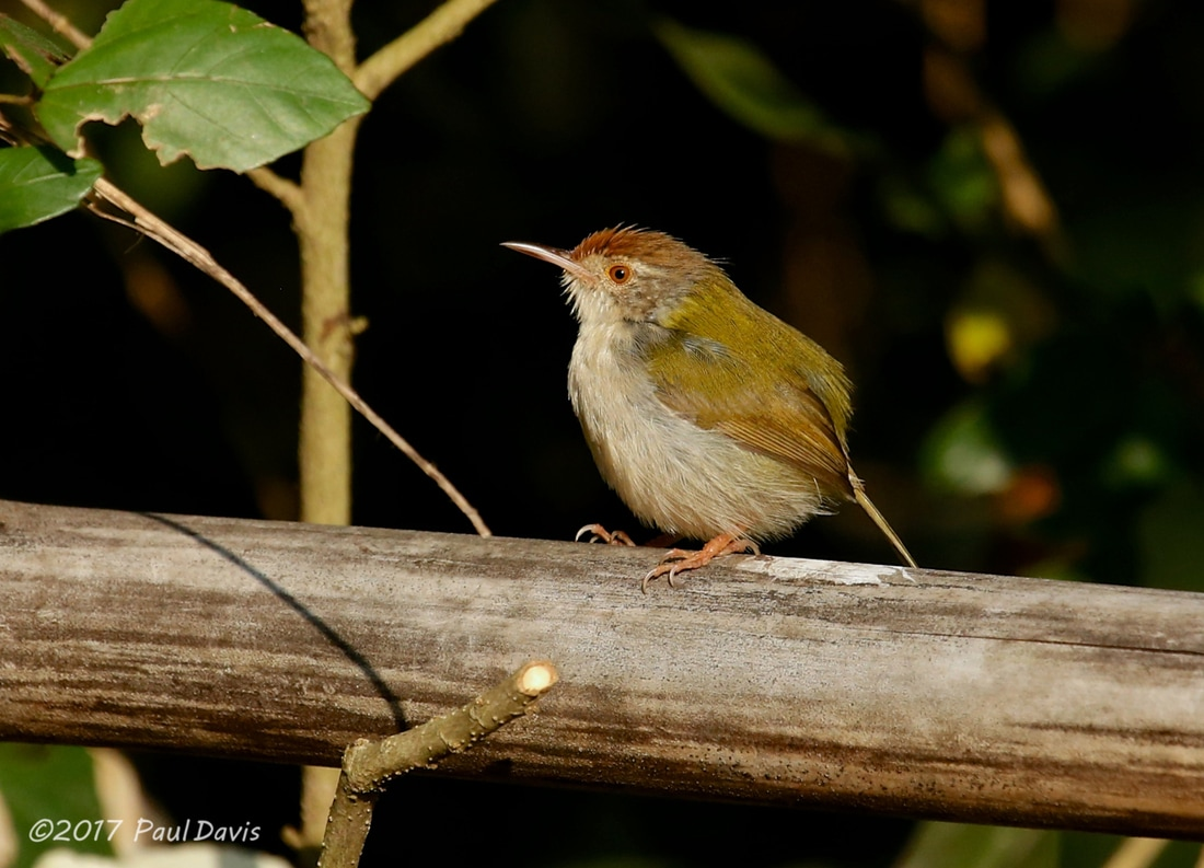 Common tailorbird from Chiang Dao.jpg