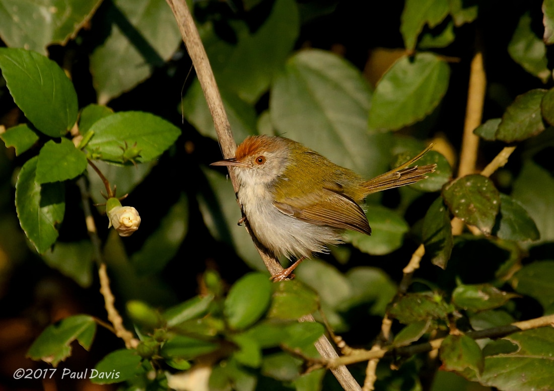 Common tailorbird, Orthotomus sutorius.jpg
