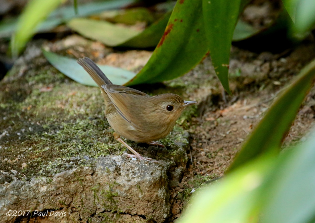 Buff-breasted babbler, Pellorneum tickelli.jpg