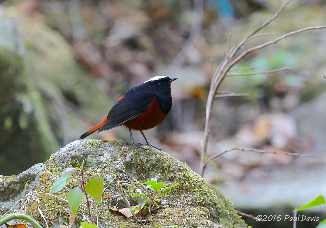 White-capped redstart from Doi Inthanon.jpg