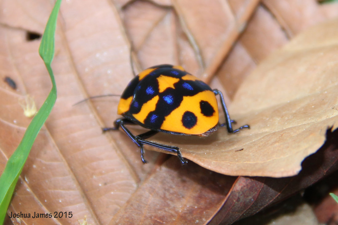 Poecilocoris druraei June 2015.jpg