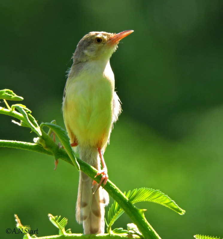 Prinia flaviventris Yellow bellied Chiang Mai Sep 2018.jpg