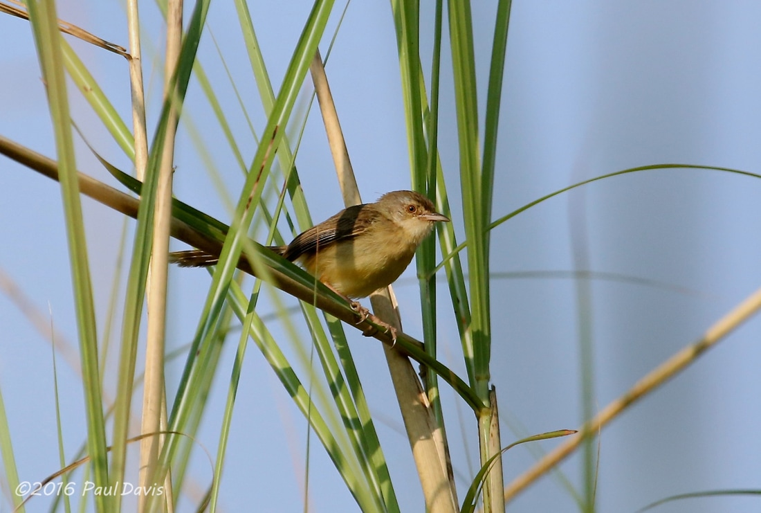 Plain prinia from Thailand.jpg