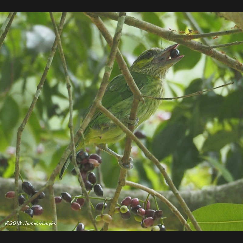 Psilopogon faiostrictus Green-eared Barbet.jpg