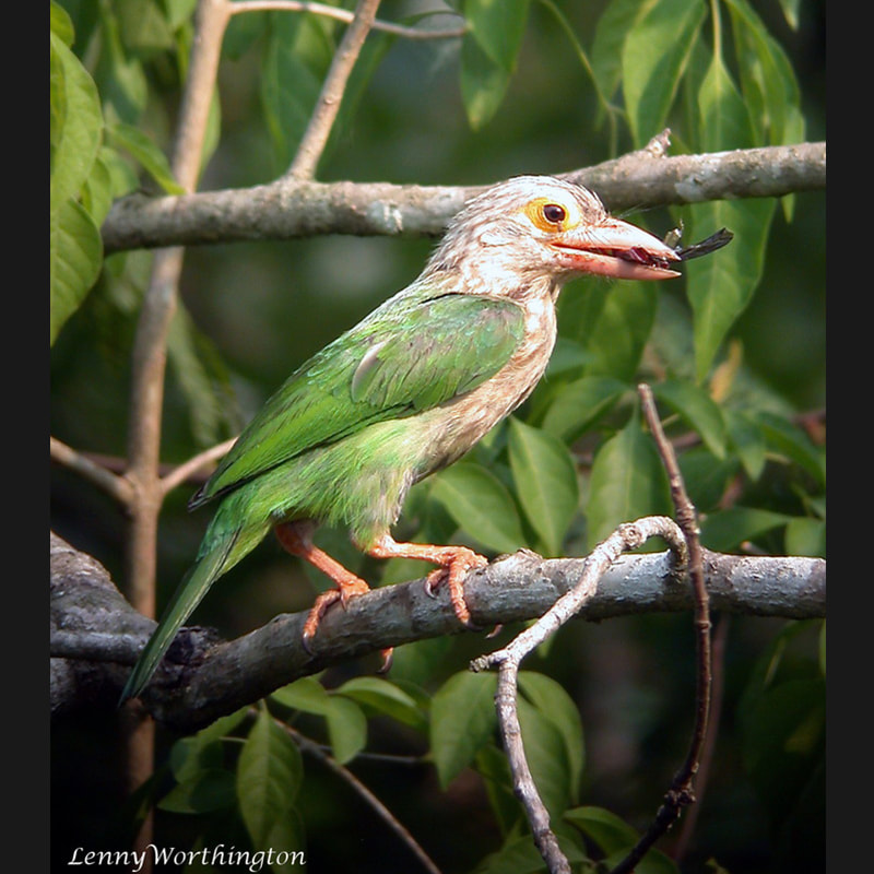 Psilopogon lineatus Lineated Barbet.jpg