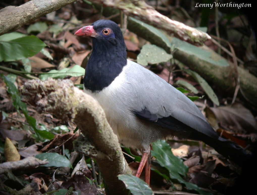 Coral-billed Ground Cuckoo Carpococcyx renauldi.jpg