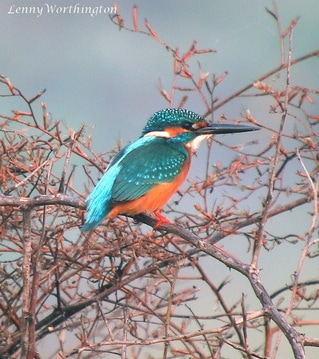 Common Kingfisher Alcedo atthis bengalensis.jpg