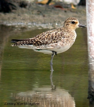 Pacific Golden PloverPluvialis fulva.jpg