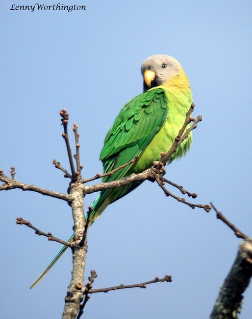 female Blossom-headed Parakeet, Psittacula roseata.jpg