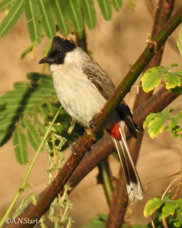 Pycnonotus jocosus Red-whiskered Bulbul Mae Taeng Jan 2020.jpg