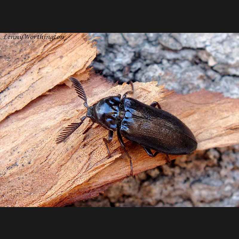 Coleoptera Beetles Thailand Nature Project