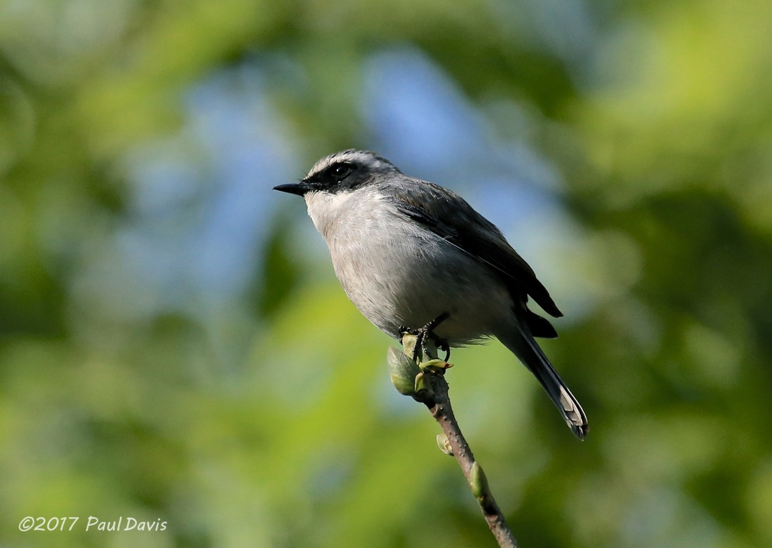 Grey bush chat, Saxicola ferreus.jpg