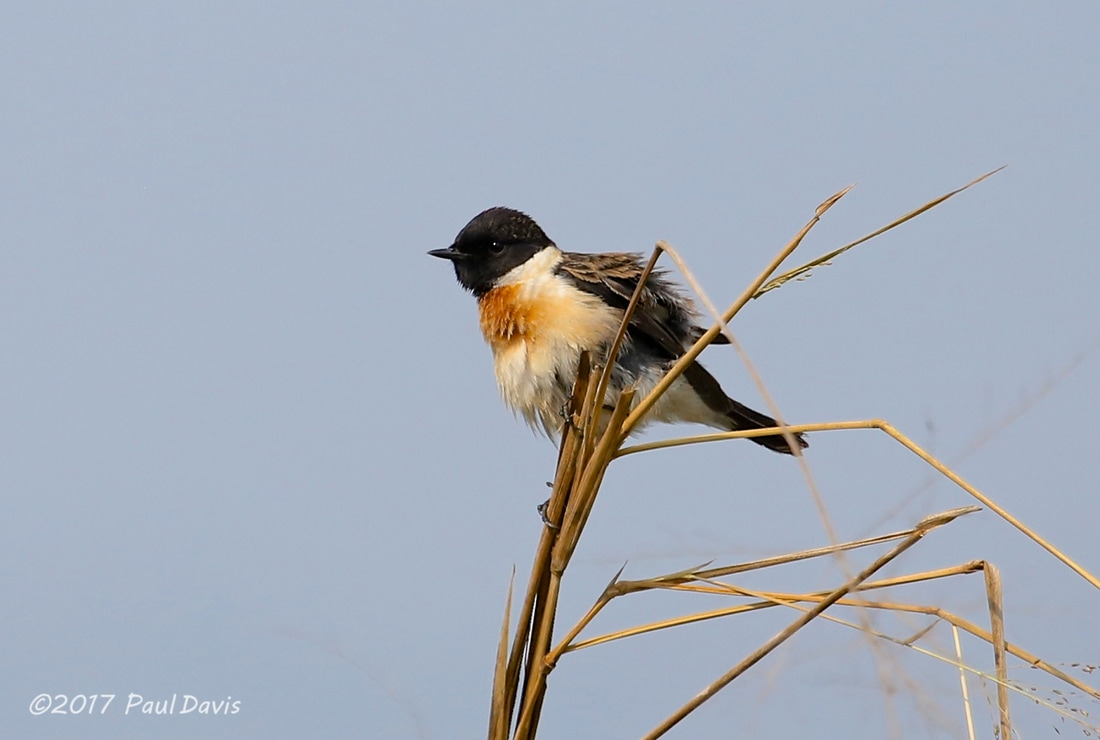 Siberian stonechat from Chiang Dao.jpg