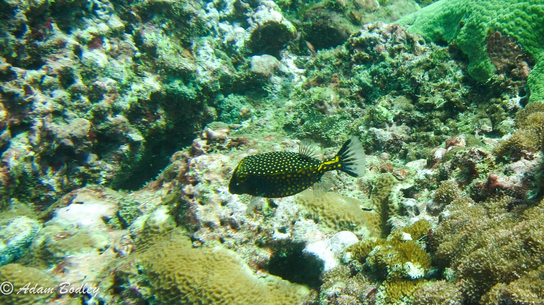 Ostracion meleagris, White-spotted boxfish.jpg