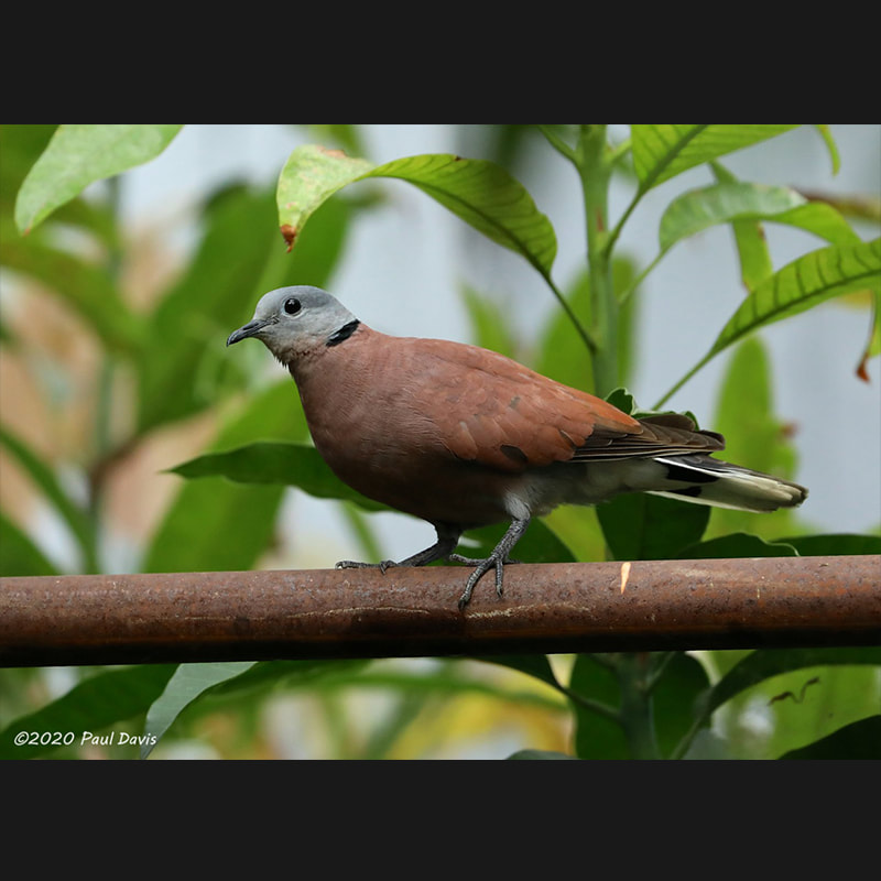 Streptopelia tranquebarica Red Turtle-dove.jpg