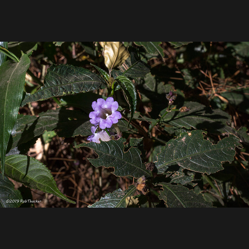Strobilanthes sp 01.jpg