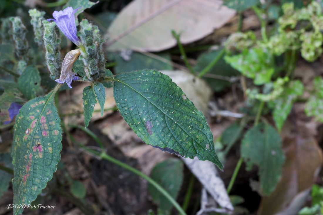 Strobilanthes sp 02 leaf Pha Daeng NP (Chiang Dao Wildlife Sanctuary) Feb 2020.jpg