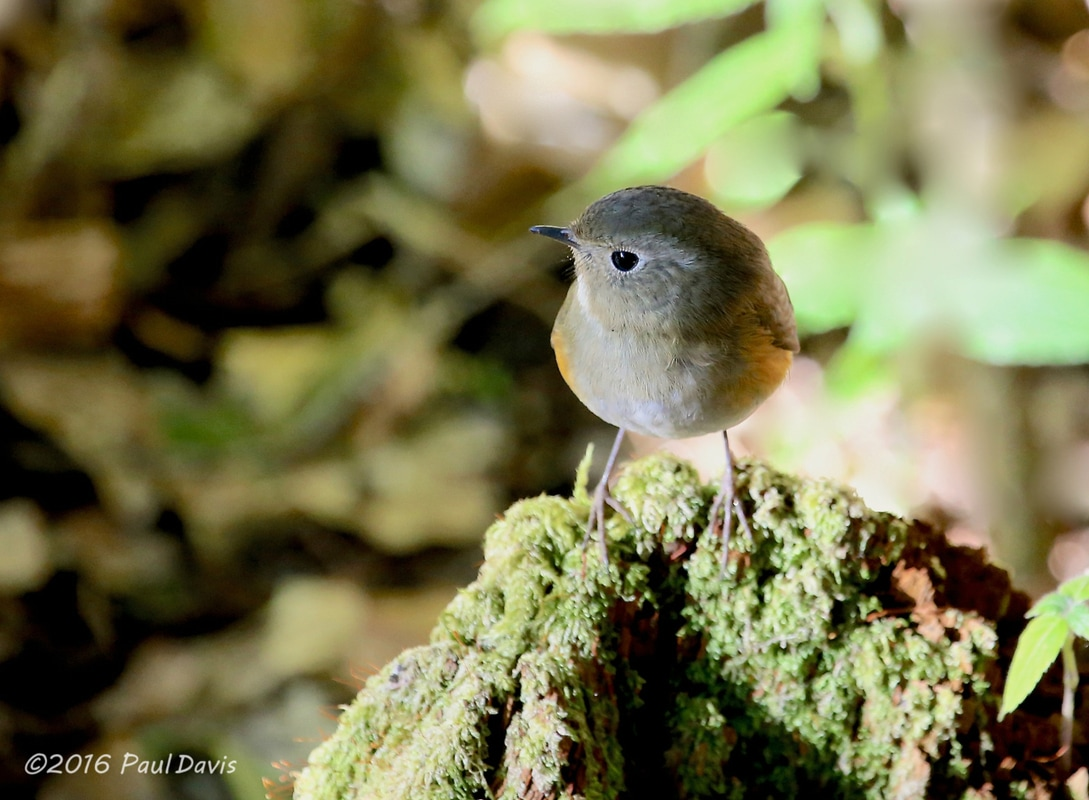 Red-flanked bluetail, Tarsiger cyanurus.jpg