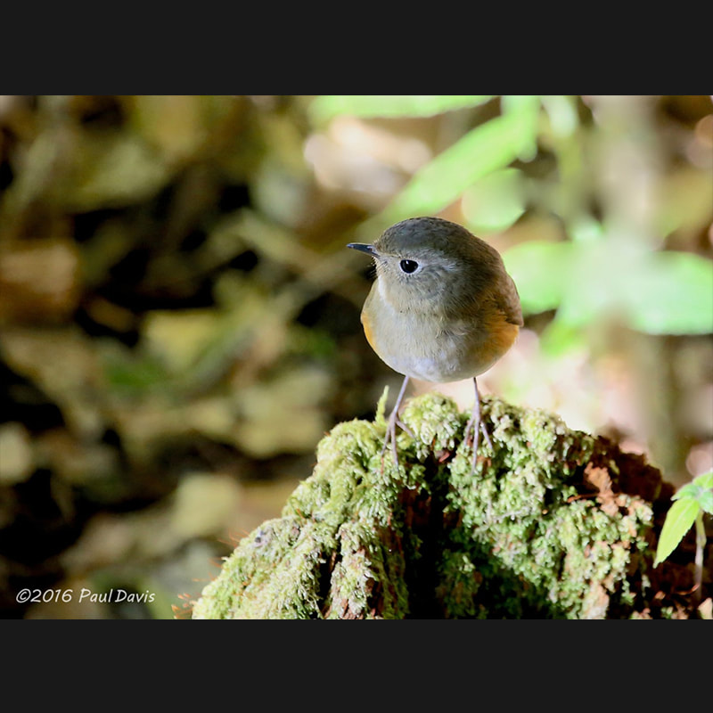 Tarsiger cyanurus Orange-flanked Bush-Robin.jpg
