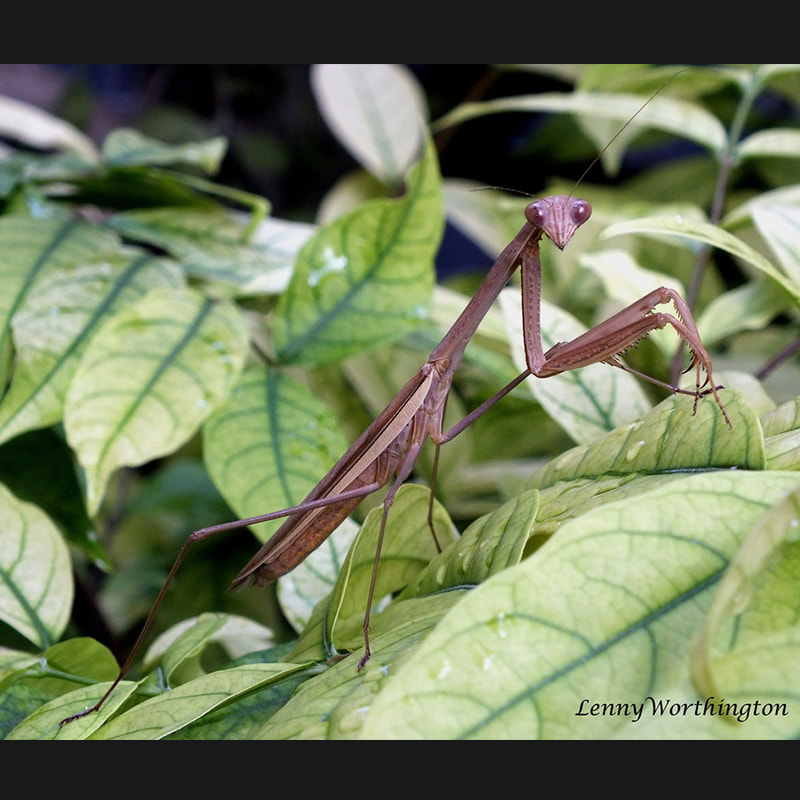 Praying Mantis Thailand.jpg