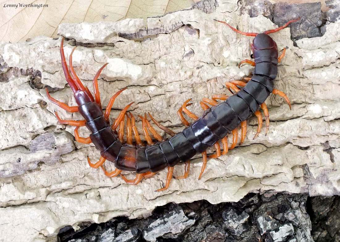 Scolopendra Subspinipes Dehaani 'tricolor'.jpg