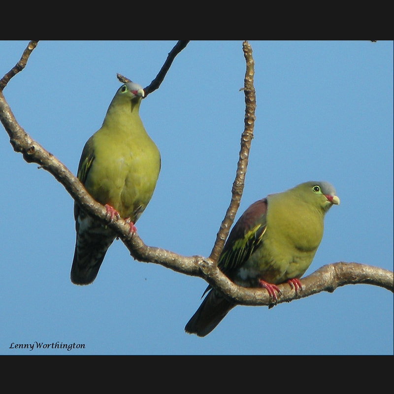 Treron curvirostra Thick-billed Green-Pigeon.jpg
