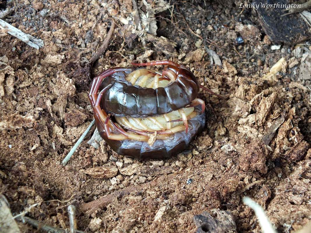 Scolopendra subspinipes subspinipes