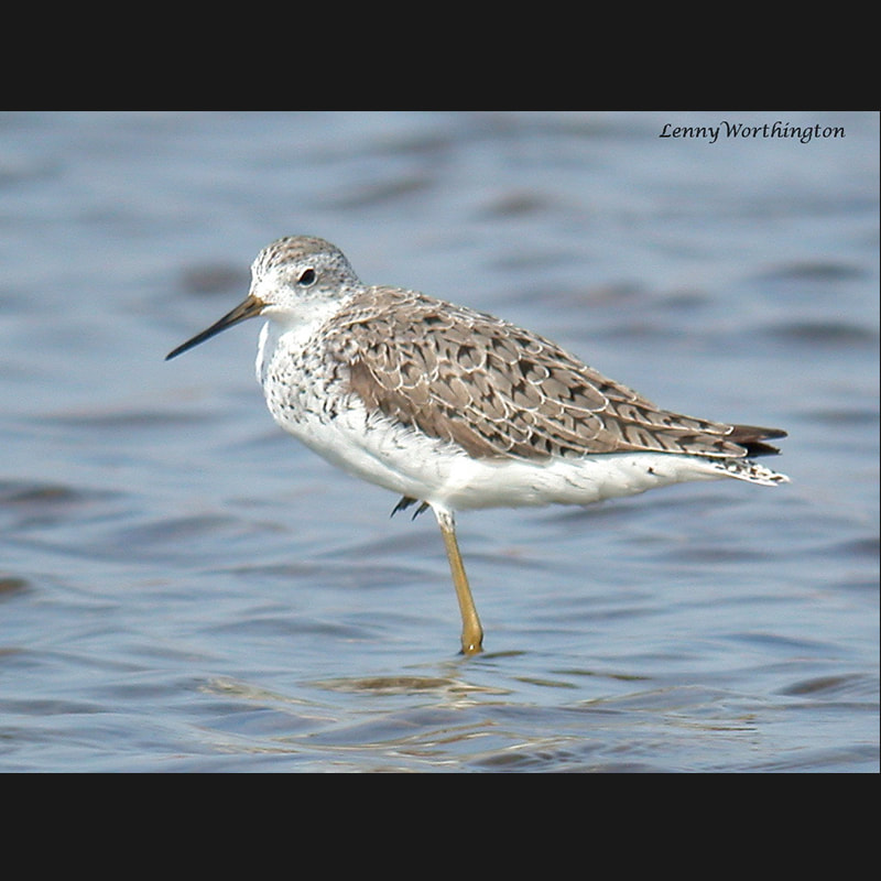Tringa nebularia Common Greenshank.jpg